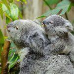 Los koalas una especie en extinción